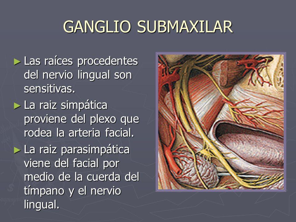 GANGLIO SUBMAXILAR Las raíces procedentes del nervio lingual son sensitivas. La raiz simpática proviene del plexo que rodea la arteria facial.