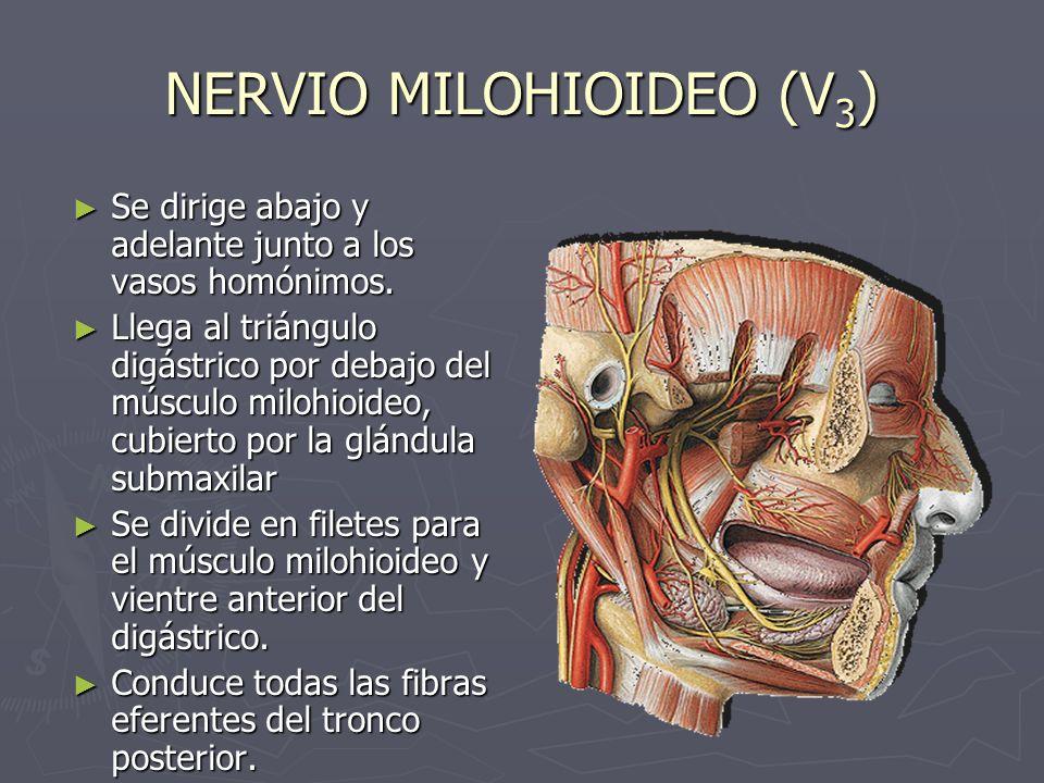 NERVIO MILOHIOIDEO (V3)