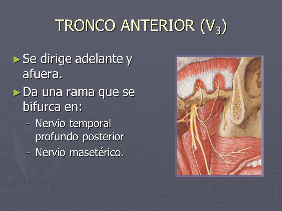 TRONCO ANTERIOR (V3) Se dirige adelante y afuera.
