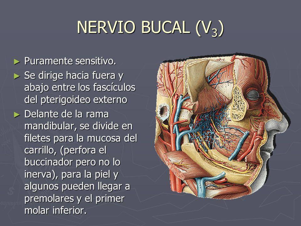 NERVIO BUCAL (V3) Puramente sensitivo.