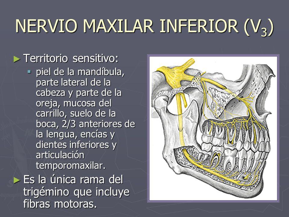 NERVIO MAXILAR INFERIOR (V3)