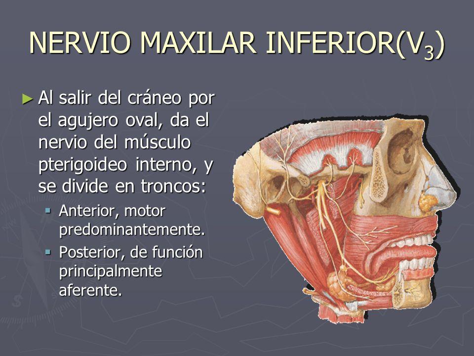 NERVIO MAXILAR INFERIOR(V3)