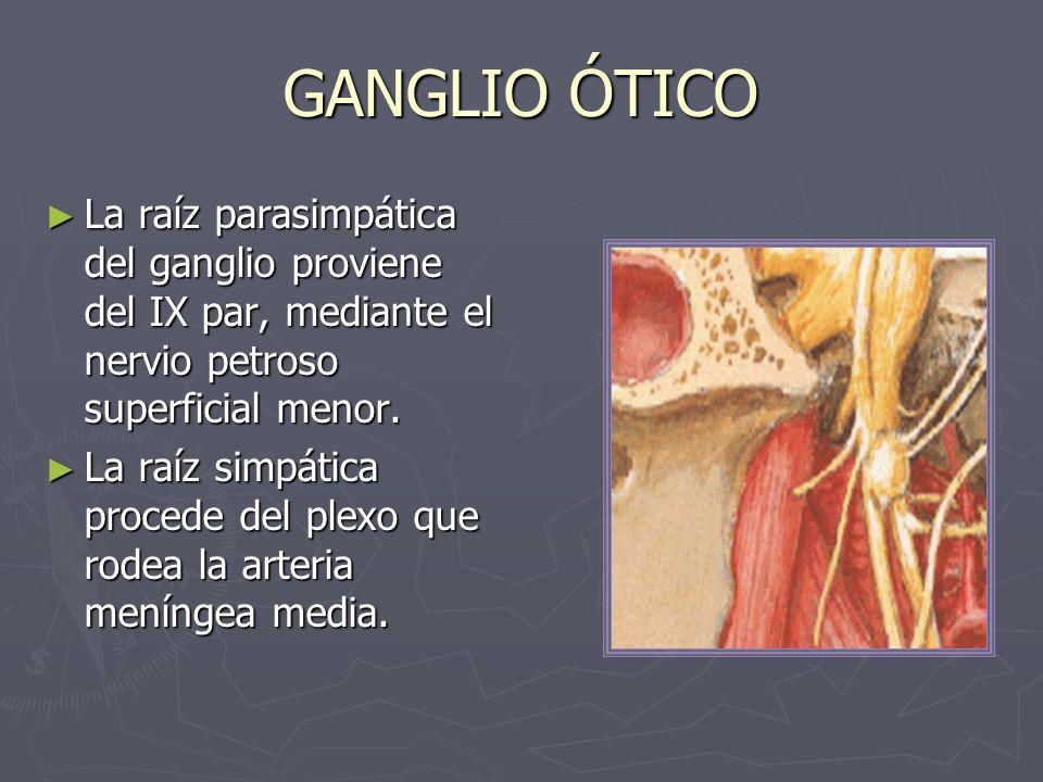 GANGLIO ÓTICO La raíz parasimpática del ganglio proviene del IX par, mediante el nervio petroso superficial menor.