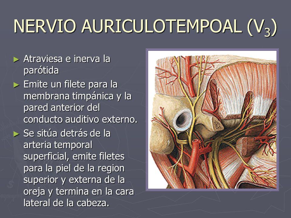 NERVIO AURICULOTEMPOAL (V3)