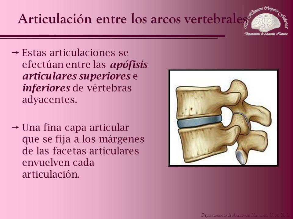 Articulación entre los arcos vertebrales