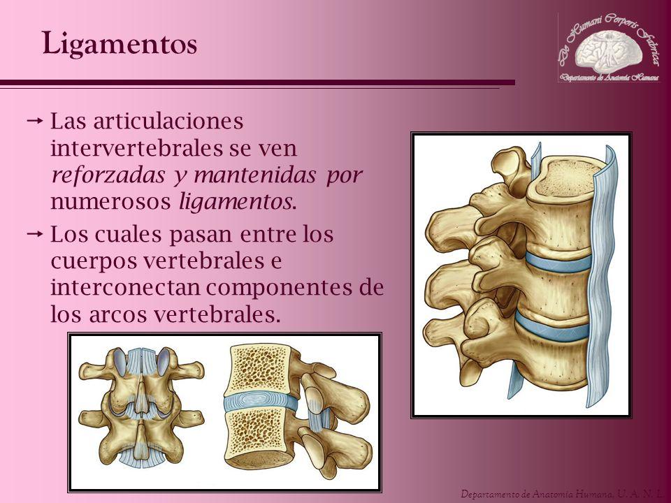 Ligamentos Las articulaciones intervertebrales se ven reforzadas y mantenidas por numerosos ligamentos.