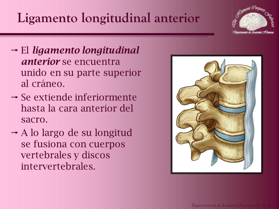 Ligamento longitudinal anterior