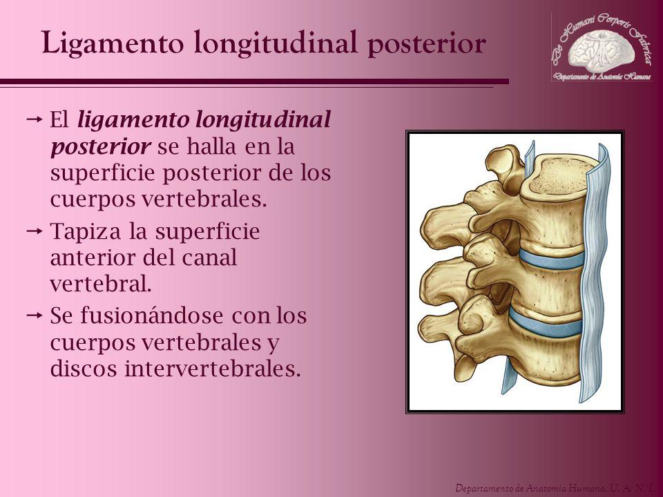 Ligamento longitudinal posterior