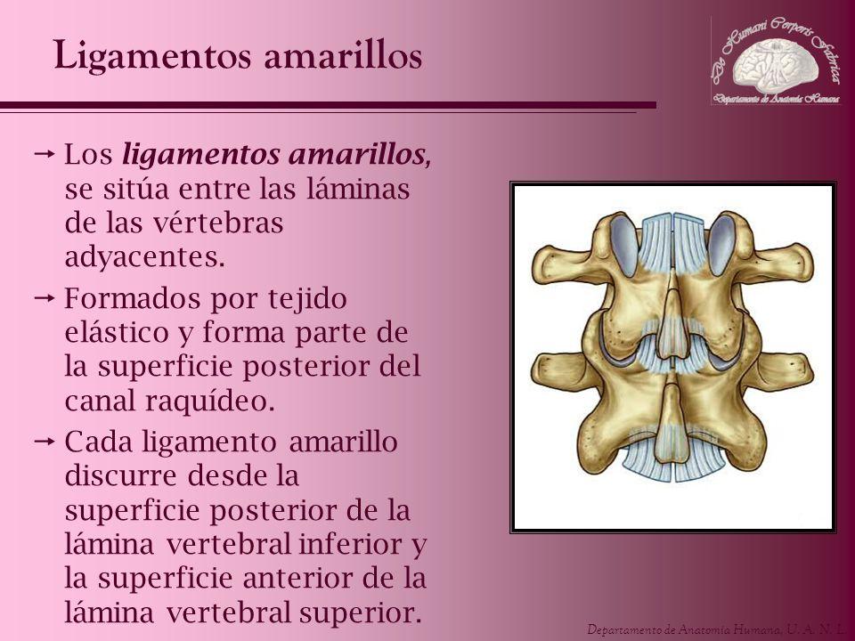 Ligamentos amarillos Los ligamentos amarillos, se sitúa entre las láminas de las vértebras adyacentes.