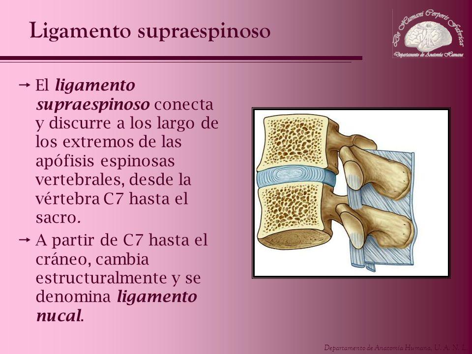 Ligamento supraespinoso