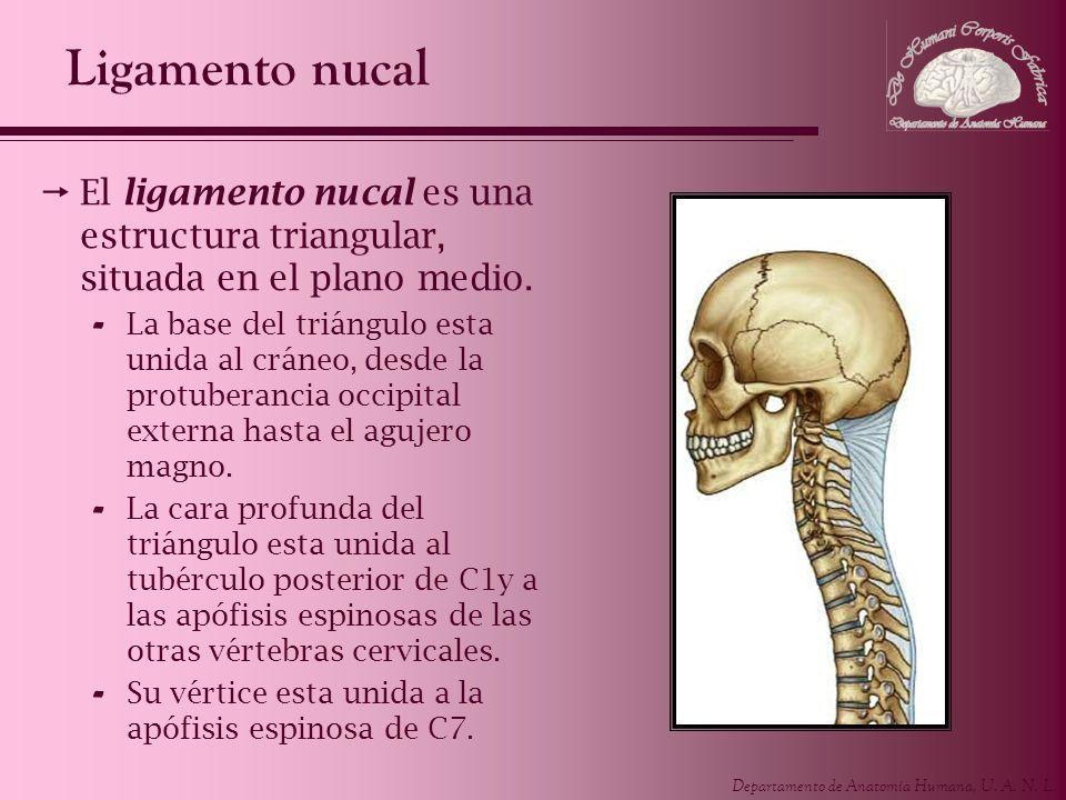 Ligamento nucal El ligamento nucal es una estructura triangular, situada en el plano medio.