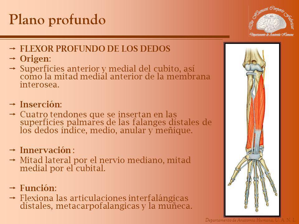 Plano profundo FLEXOR PROFUNDO DE LOS DEDOS Origen: