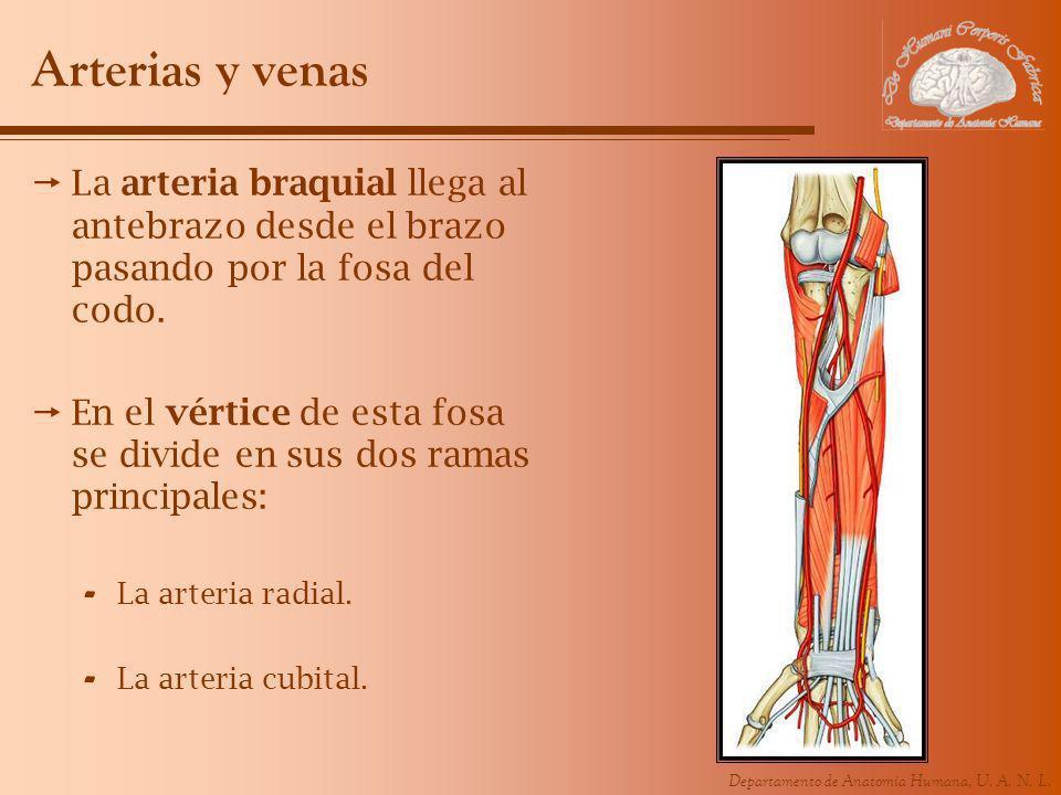 Arterias y venas La arteria braquial llega al antebrazo desde el brazo pasando por la fosa del codo.