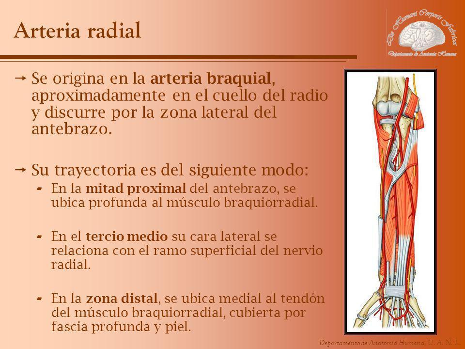 Arteria radial Se origina en la arteria braquial, aproximadamente en el cuello del radio y discurre por la zona lateral del antebrazo.
