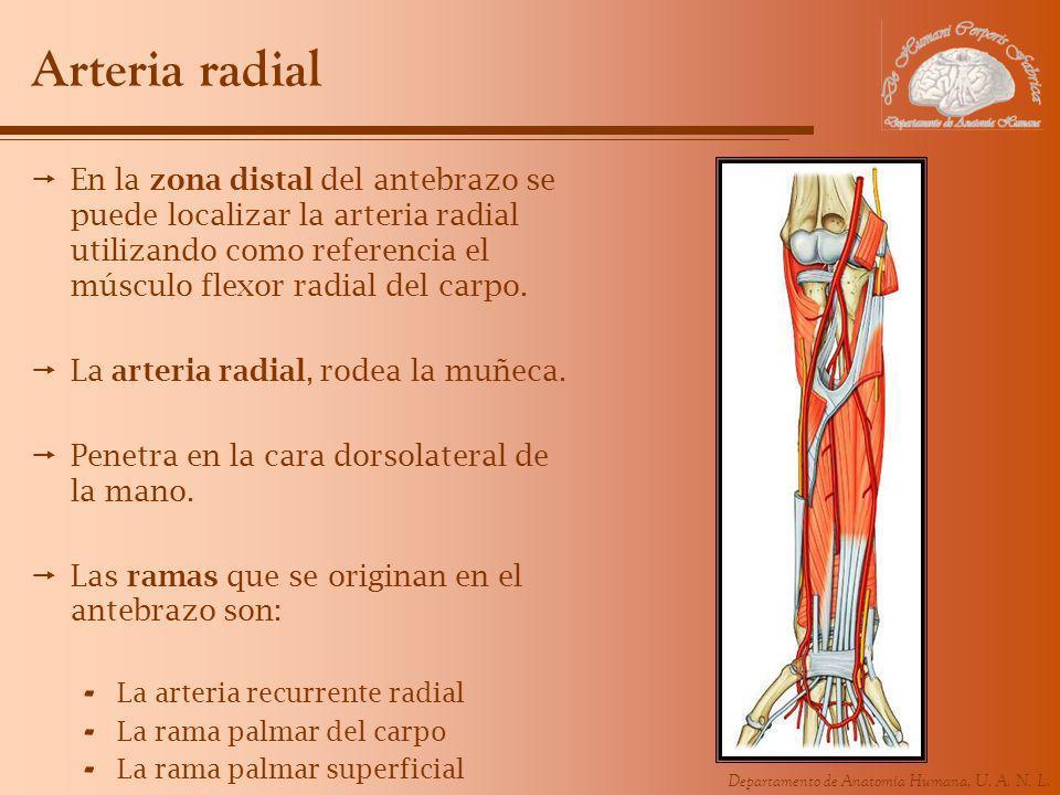 Arteria radial En la zona distal del antebrazo se puede localizar la arteria radial utilizando como referencia el músculo flexor radial del carpo.