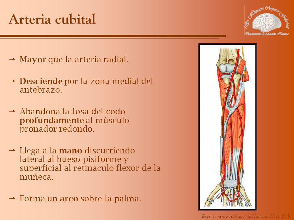 Arteria cubital Mayor que la arteria radial.