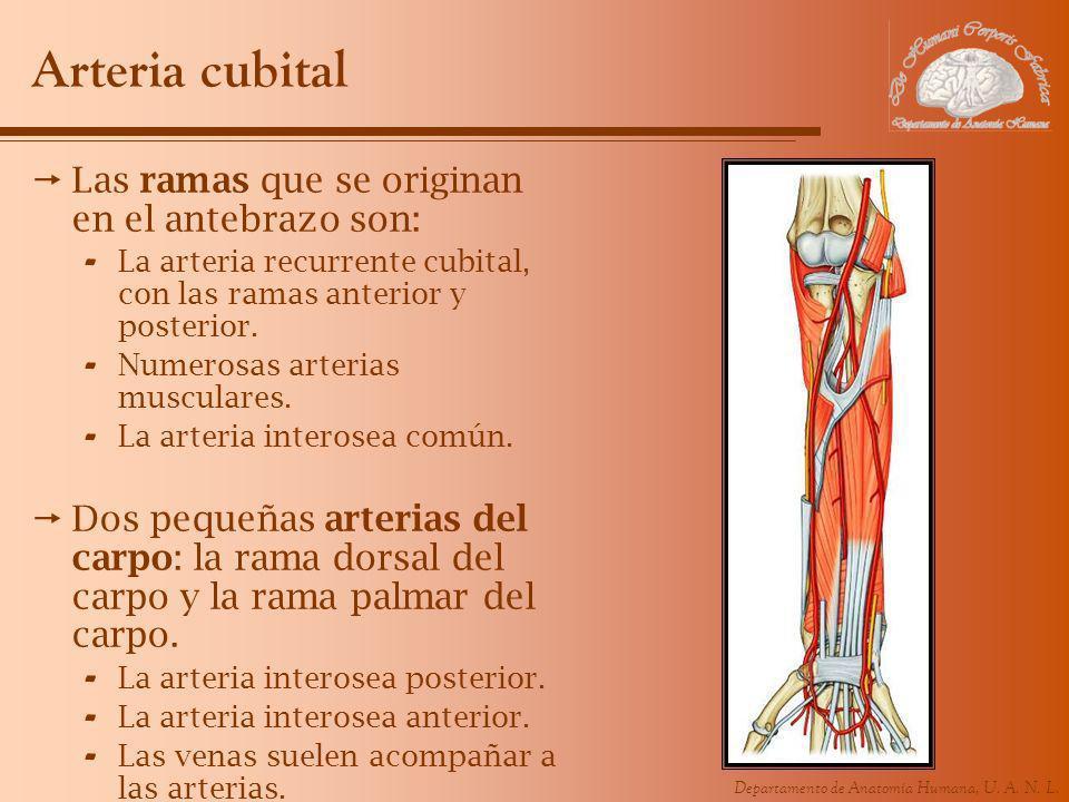 Arteria cubital Las ramas que se originan en el antebrazo son: