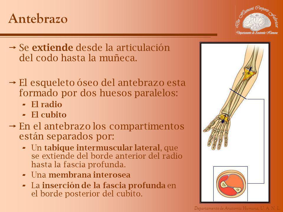 Antebrazo Se extiende desde la articulación del codo hasta la muñeca.
