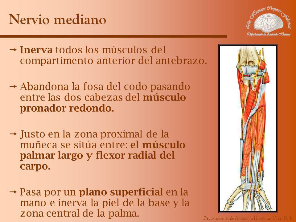 Nervio mediano Inerva todos los músculos del compartimento anterior del antebrazo.