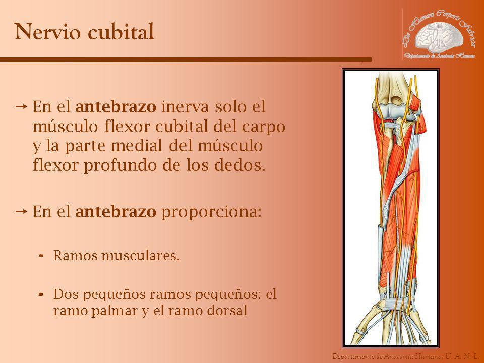 Nervio cubital En el antebrazo inerva solo el músculo flexor cubital del carpo y la parte medial del músculo flexor profundo de los dedos.