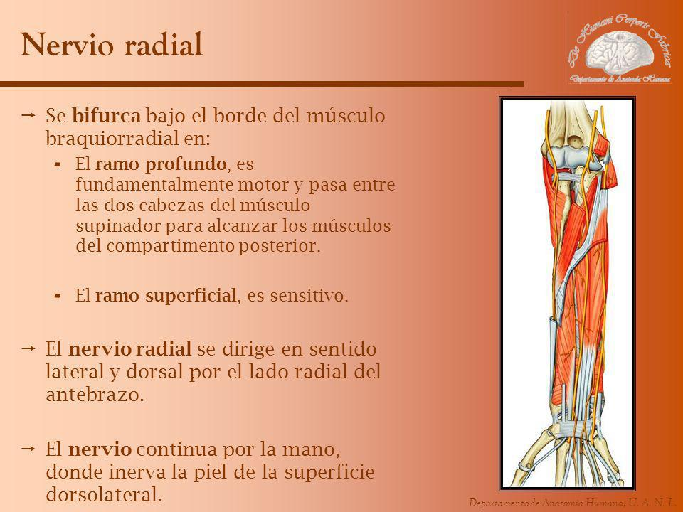 Nervio radial Se bifurca bajo el borde del músculo braquiorradial en: