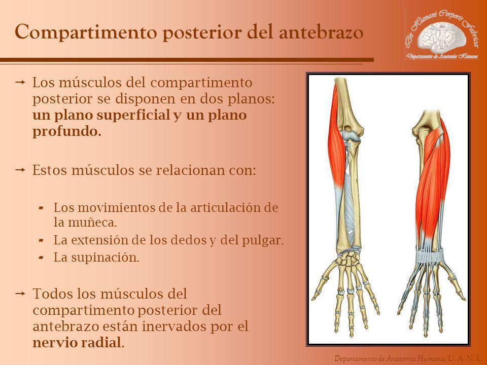 Compartimento posterior del antebrazo