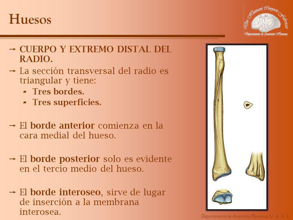Huesos CUERPO Y EXTREMO DISTAL DEL RADIO.