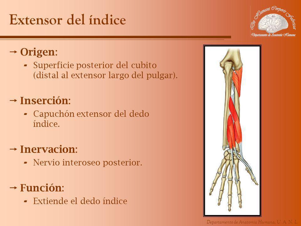 Extensor del índice Origen: Inserción: Inervacion: Función:
