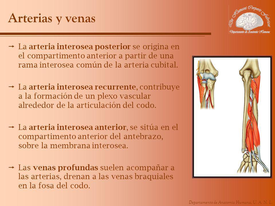Arterias y venas La arteria interosea posterior se origina en el compartimento anterior a partir de una rama interosea común de la arteria cubital.