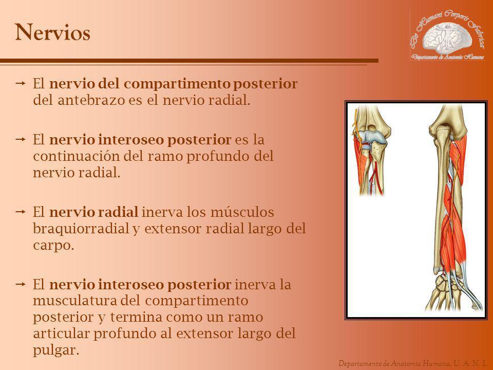Nervios El nervio del compartimento posterior del antebrazo es el nervio radial.
