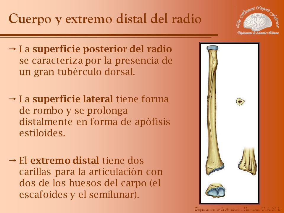 Cuerpo y extremo distal del radio