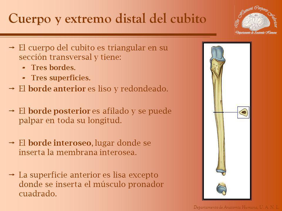 Cuerpo y extremo distal del cubito