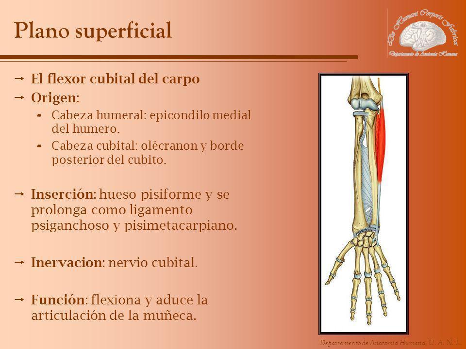 Plano superficial El flexor cubital del carpo Origen: