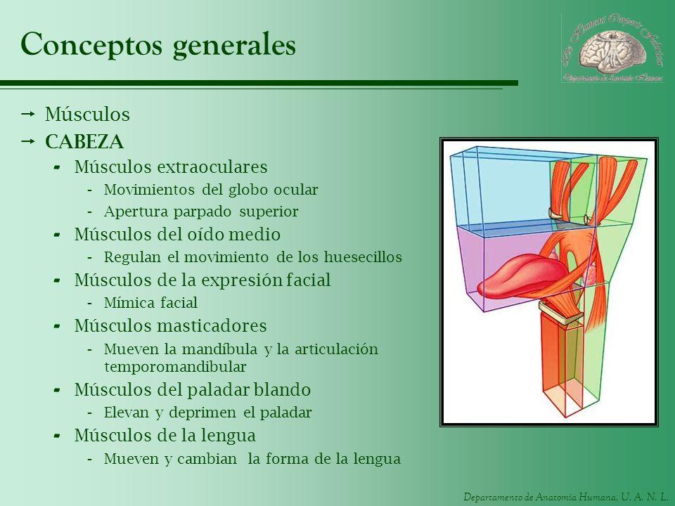 Conceptos generales Músculos CABEZA Músculos extraoculares