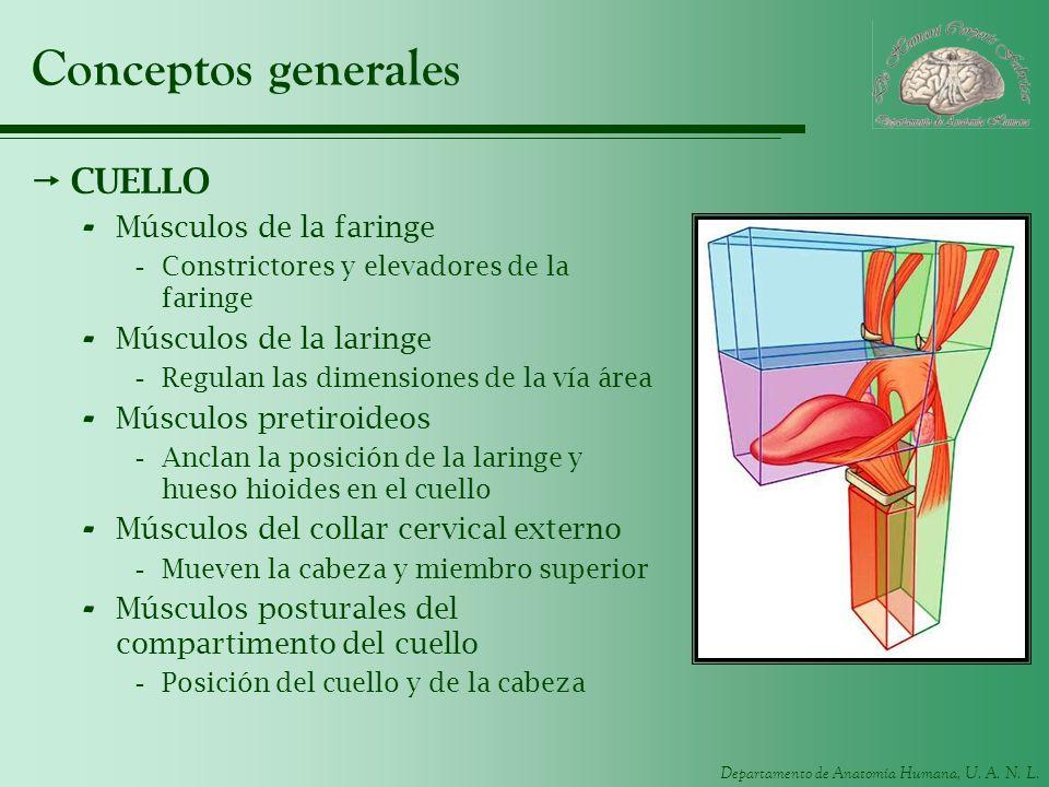 Conceptos generales CUELLO Músculos de la faringe