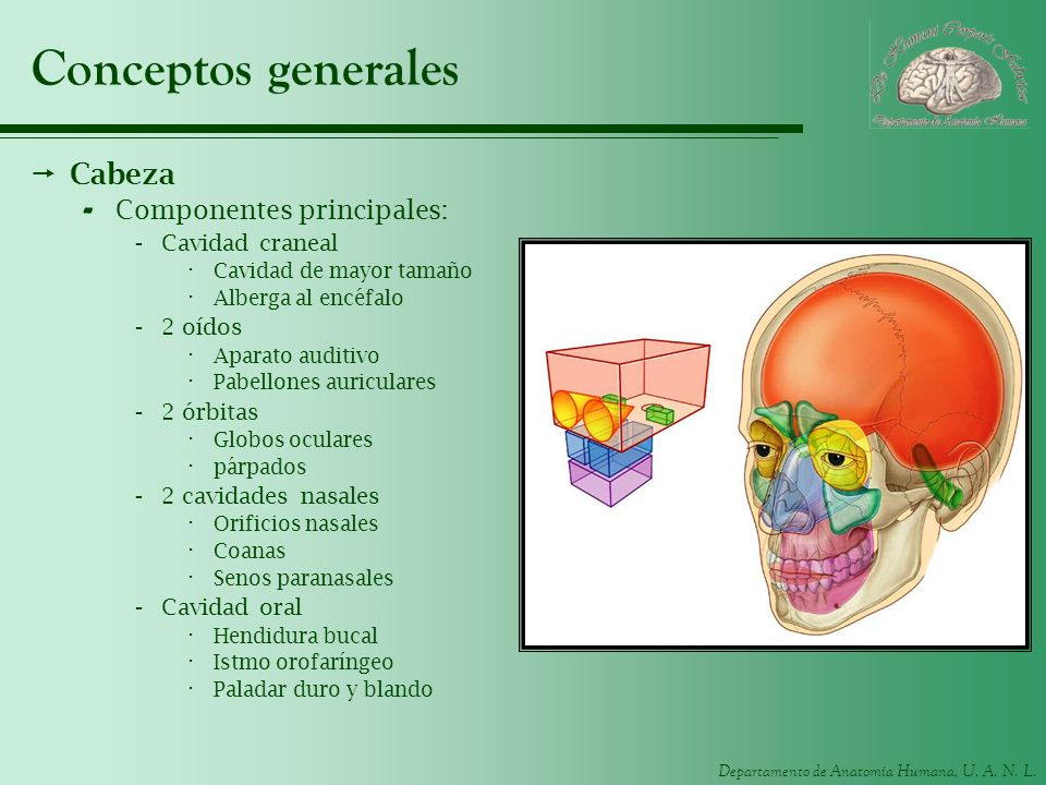 Conceptos generales Cabeza Componentes principales: Cavidad craneal