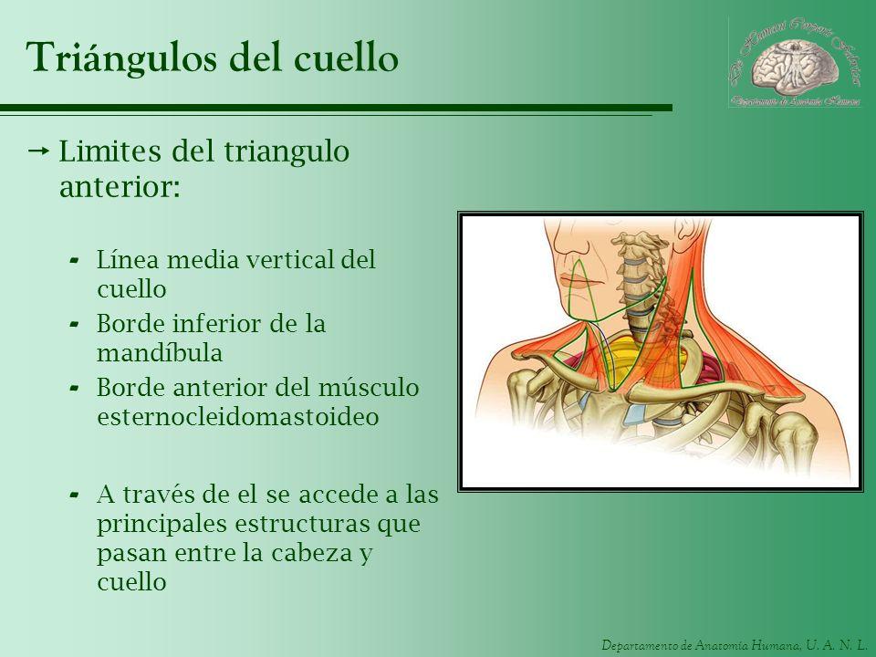 Triángulos del cuello Limites del triangulo anterior: