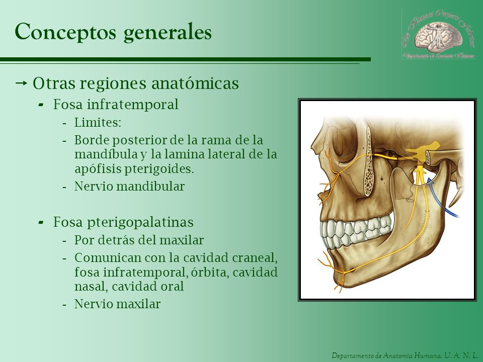 Conceptos generales Otras regiones anatómicas Fosa infratemporal