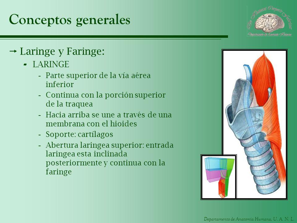 Conceptos generales Laringe y Faringe: LARINGE