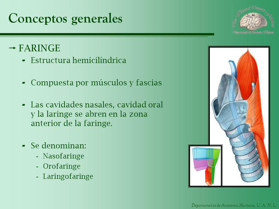 Conceptos generales FARINGE Estructura hemicilíndrica