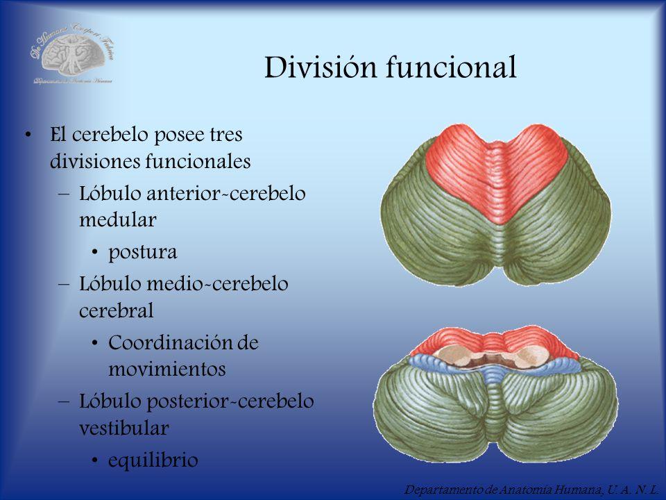 División funcional El cerebelo posee tres divisiones funcionales