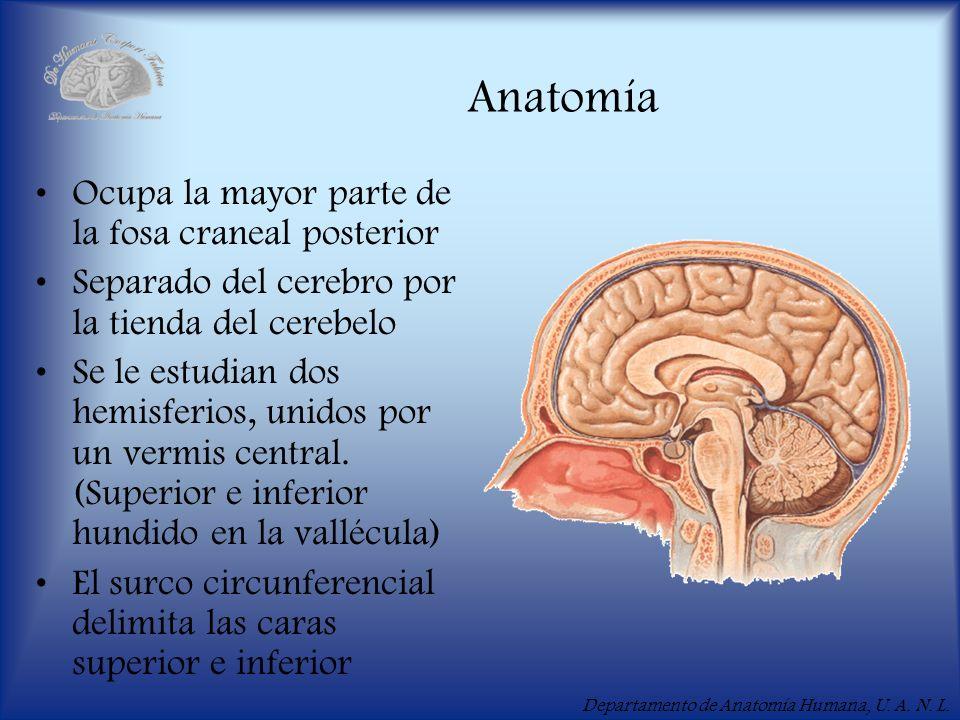 Anatomía Ocupa la mayor parte de la fosa craneal posterior