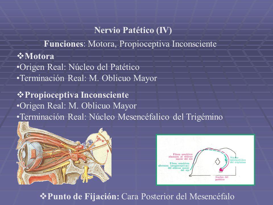 Nervio Patético (IV) Funciones: Motora, Propioceptiva Inconsciente. Motora. Origen Real: Núcleo del Patético.