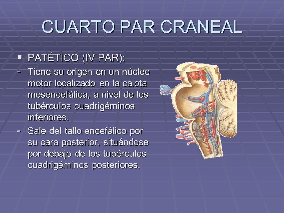 CUARTO PAR CRANEAL PATÉTICO (IV PAR):