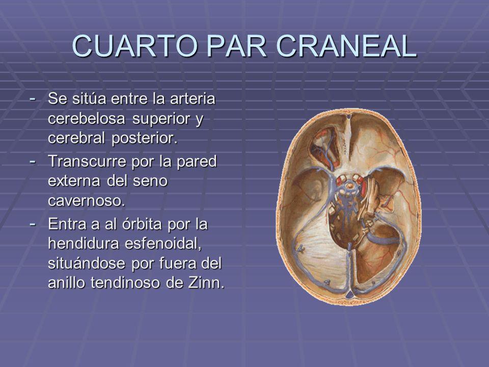 CUARTO PAR CRANEALSe sitúa entre la arteria cerebelosa superior y cerebral posterior. Transcurre por la pared externa del seno cavernoso.