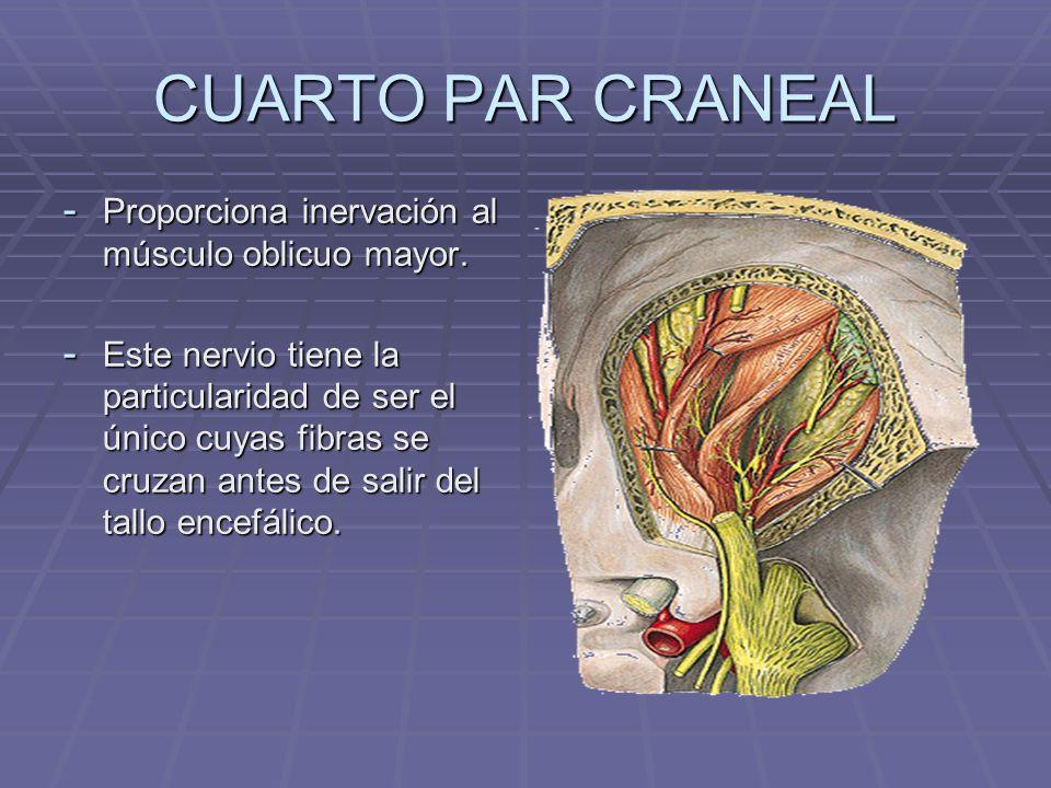 CUARTO PAR CRANEAL Proporciona inervación al músculo oblicuo mayor.