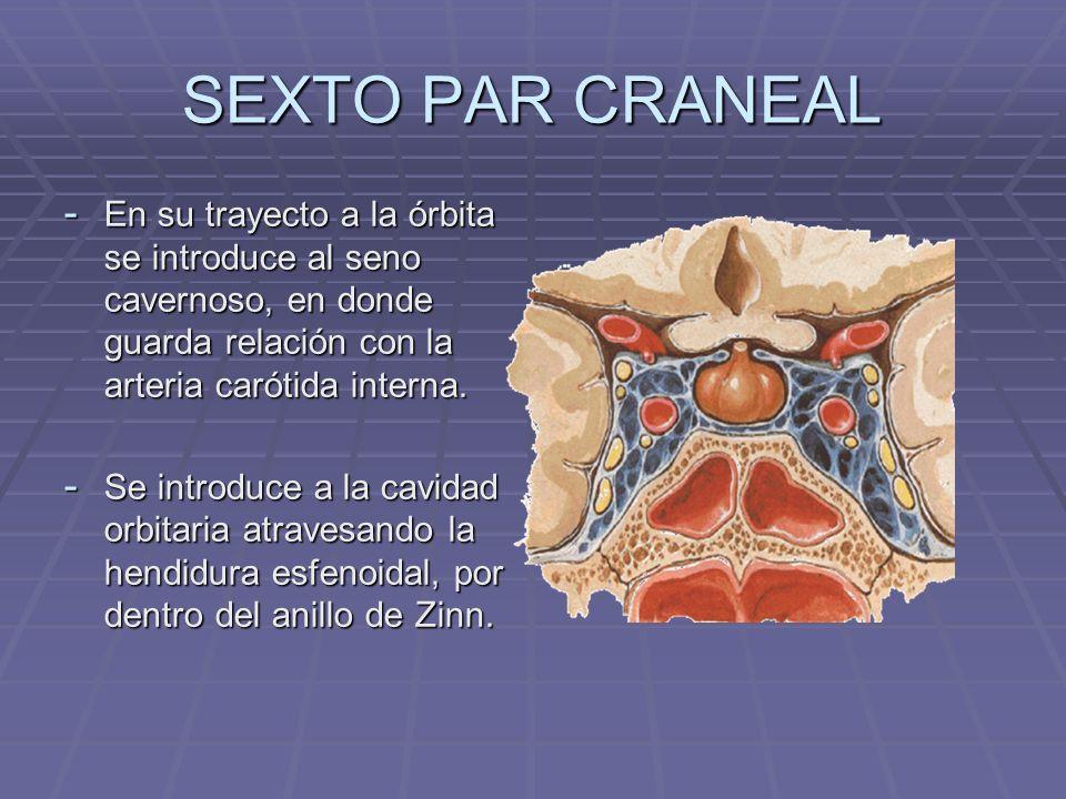 SEXTO PAR CRANEALEn su trayecto a la órbita se introduce al seno cavernoso, en donde guarda relación con la arteria carótida interna.