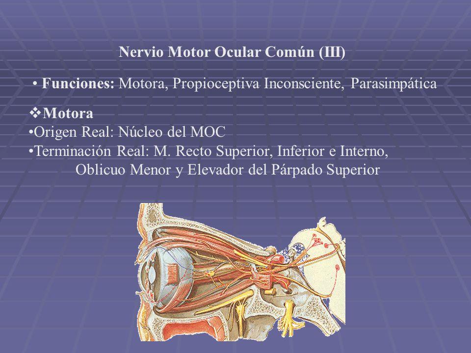Nervio Motor Ocular Común (III)