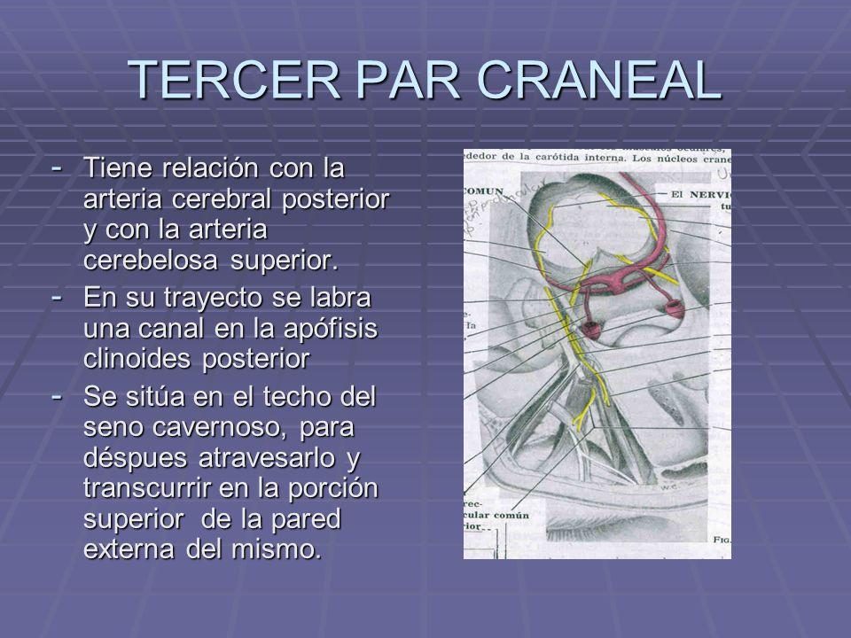 TERCER PAR CRANEAL Tiene relación con la arteria cerebral posterior y con la arteria cerebelosa superior.