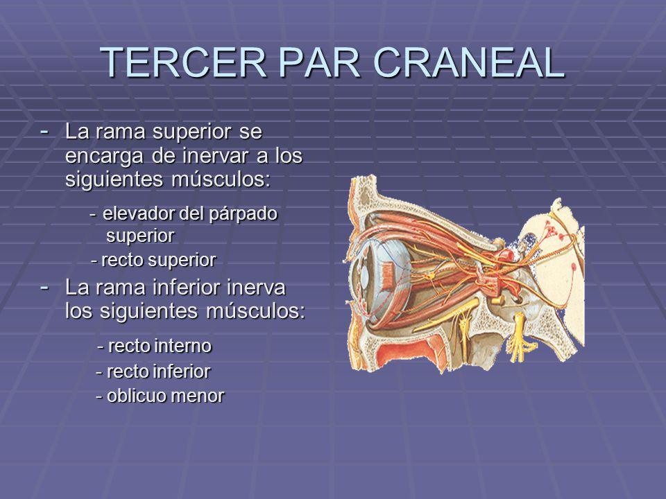 TERCER PAR CRANEAL - elevador del párpado superior - recto interno